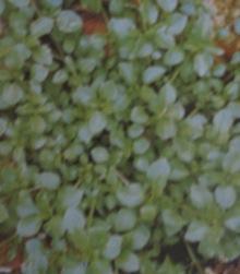 Mišjakinja, lat. Stellaria media (L.) Vill.